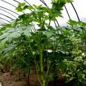 Semillas Parra De Jade, Parra Esmeralda, Parra De Jade Turquesa (Strongylodon macrobotrys)