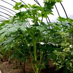 Graines de Ashitaba (Angelica keiskei) 3.95 - 10