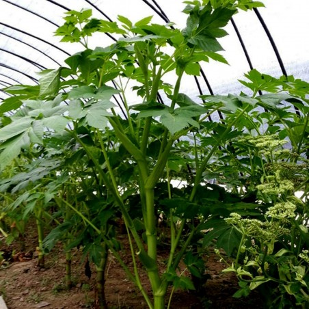 Heilpflanze Morgenblatt - Ashitaba Samen 3.95 - 10
