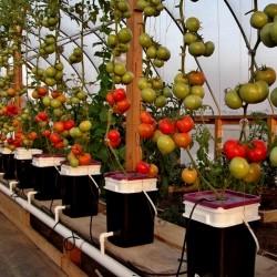 Hydroponiska Tomato Frö PETROUSA DRAMA 1.65 - 1