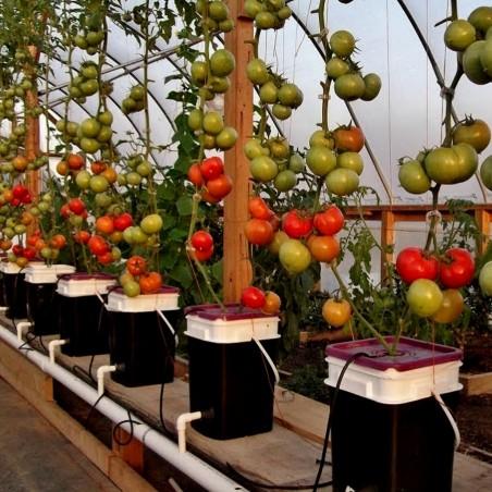 Semillas de tomate hidropónico PETROUSA DRAMA 1.65 - 1