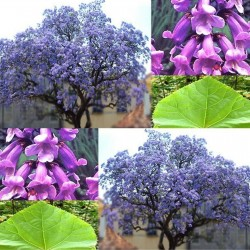 Paulownia Elongata 1000 Tree - Bonsai Seeds 15 - 1