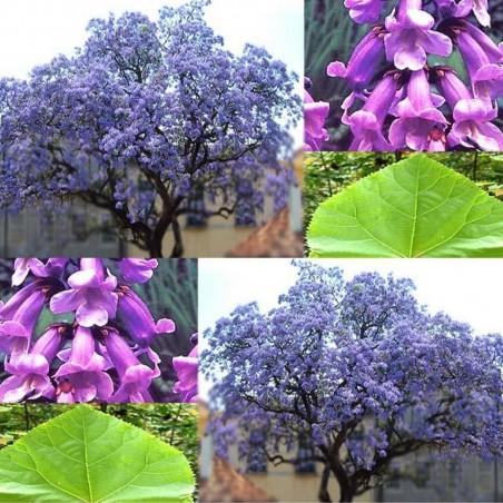 Paulownia Elongata 1000 Tree - Bonsai Seeds 15 - 1