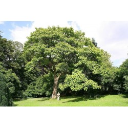 Kejsarträd Frön (Paulownia tomentosa) 1.95 - 1