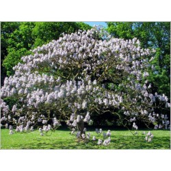 Kaiserbaum Samen 1.95 - 3