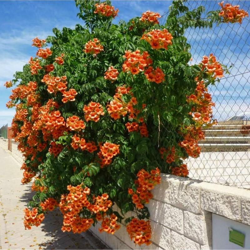Orangerote Amerikanische Klettertrompete Samen, Trompetenblume 1.95 - 1