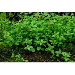 Gewöhnliche Vogelmiere Seeds (Stellaria media) 1.55 - 3
