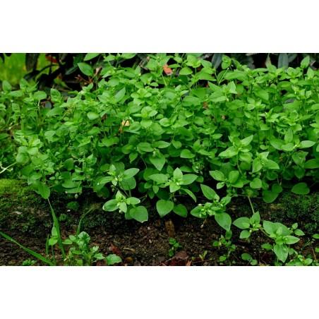 Chickweed Seeds (Stellaria Media) 1.55 - 3