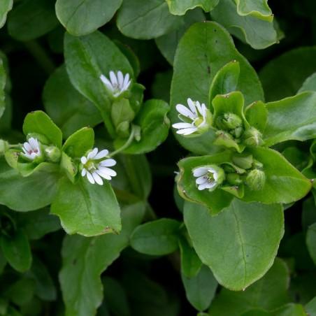 Στελλάρια Σπόροι (Stellaria media) 1.55 - 1