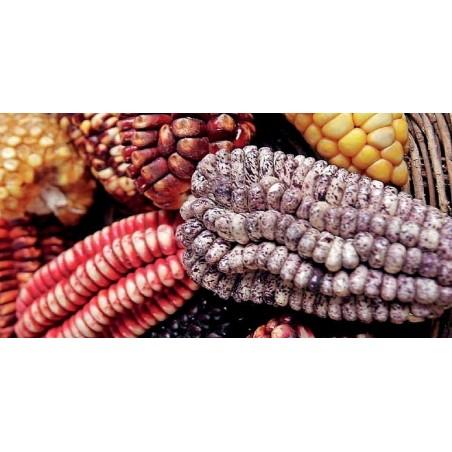 """Semillas de maíz peruano Negro violeta blanco """"K'uyu Chuspi"""" 2.45 - 9"""
