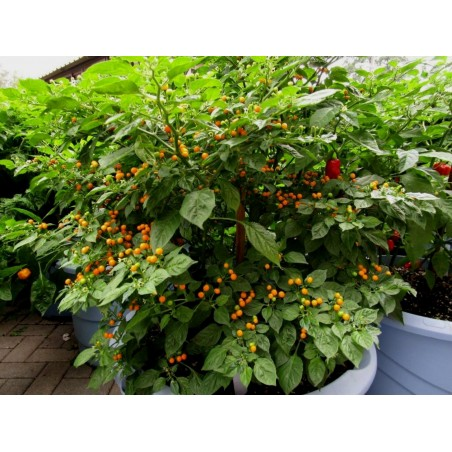 Charapita Chili - Cili Seme 2.25 - 7