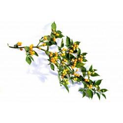 Charapita Chili - Cili Seme 2.25 - 8