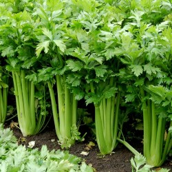 15.000 Seeds Celery ''Utah''