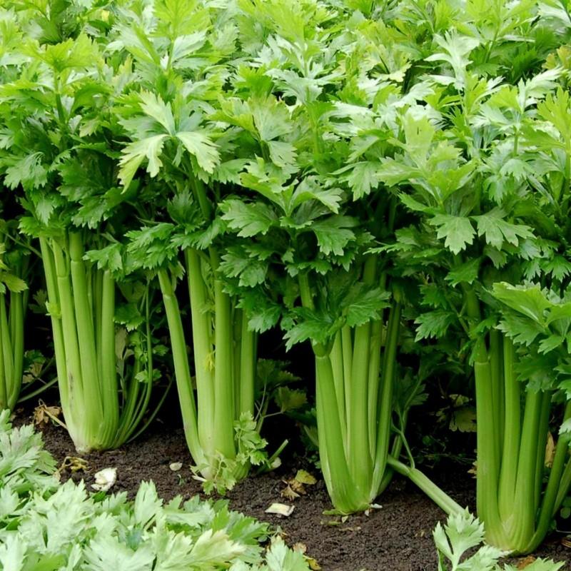 15.000 Seeds Celery ''Utah'' 9.95 - 2