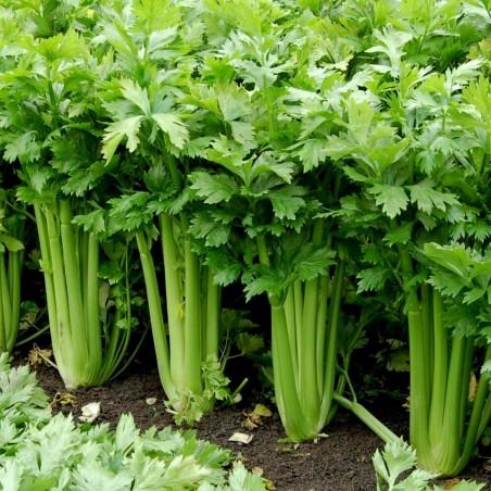 Celer 15.000 Semena ''Utah'' Lekovita Biljka