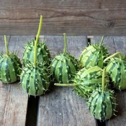 African Horned Cucumber seeds (Cucumis zambianus) 1.95 - 1