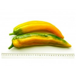 MARCONI Yellow Sweet Pepper Seeds 1.65 - 1