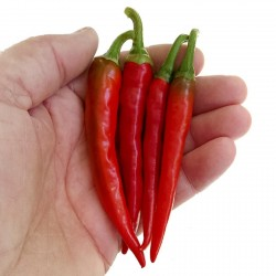 Graines de piment de Cayenne RING OF FIRE 1.7 - 3