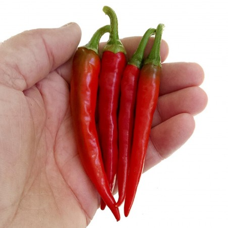 Hot Chilli Pepper RING OF FIRE Seeds 1.7 - 3