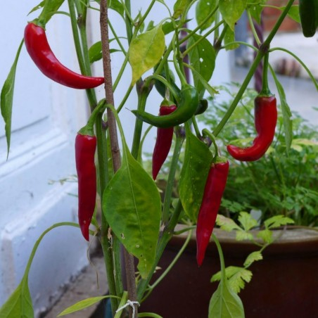Hot Chilli Pepper RING OF FIRE Seeds 1.7 - 2
