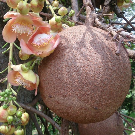 Cannonball Tree Seeds (Couroupita guianensis)