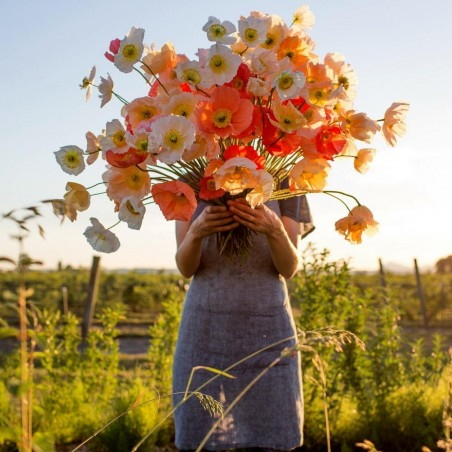 Sementes De Flor Papaver Shirley Poppy