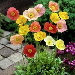 Sementes De Flor Papaver Shirley Poppy 2.05 - 1