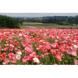 Shirley Poppy Seeds Mixed Colors, Decorative, Ornamental 2.05 - 2