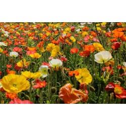 Sementes De Flor Papaver Shirley Poppy 2.05 - 3