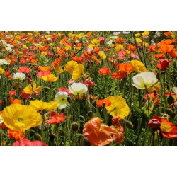 Shirley Poppy Seeds Mixed Colors, Decorative, Ornamental 2.05 - 3