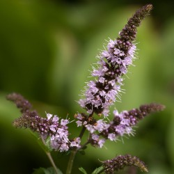 Peppermint Seeds (Mentha  piperita) 2.5 - 1