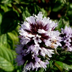 Peppermint Seeds (Mentha  piperita) 2.5 - 2