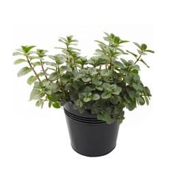 Pepparmynta Frön (Mentha ×piperita) 2.5 - 3