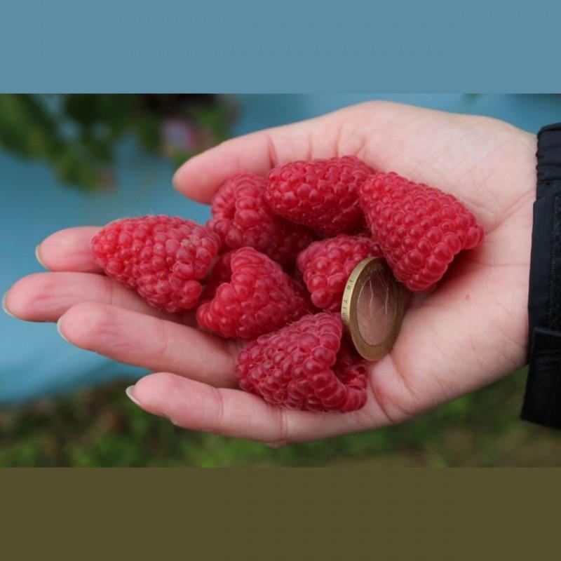 Semi di Lampone (Rubus idaeus) 1.95 - 1