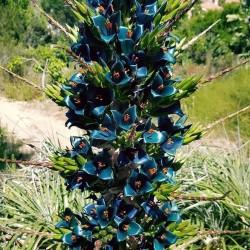 Sementes Bromélia Torre De Safira (Puia berteroniana) 3.65 - 8