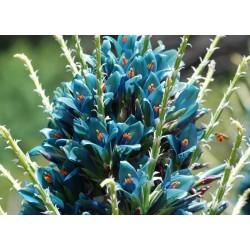 Sementes Bromélia Torre De Safira (Puia berteroniana) 3.65 - 13