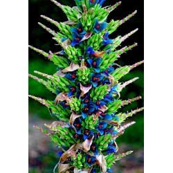 Sementes Bromélia Torre De Safira (Puia berteroniana) 3.65 - 20