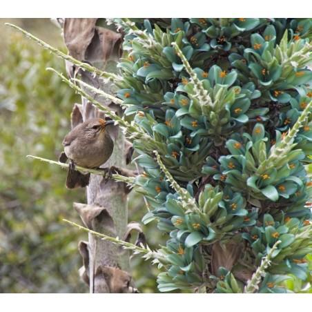Graines de Chona – Guacalla - Sanky (Corryocactus brevistylus)