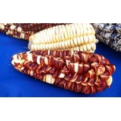 Peruanische Riesen rote Sacsa Kuski Mais Samen 3.499999 - 10