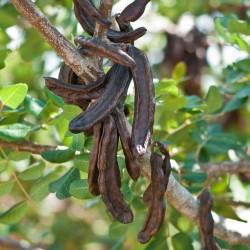 Sementes de Alfarrobeira 1.95 - 2