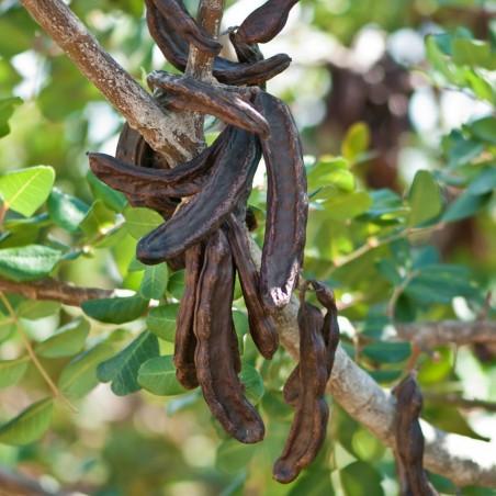 Johannisbrotbaum Samen 1.95 - 2