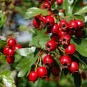 Semillas de Jaltomata procumbens Frutas exóticas
