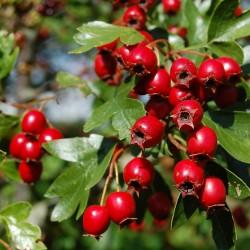 Graines de Aubépine (Crataegus) plante médicinale 1.75 - 2