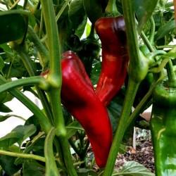 Seme Paprike CORNO DI TORO ROSSO 2 - 2