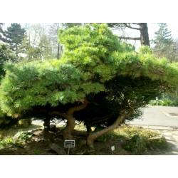 Sementes de Pinus mugo - Bonsai 1.5 - 1