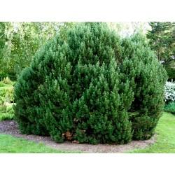 Sementes de Pinus mugo - Bonsai 1.5 - 2