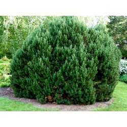Mugo Pine Seeds Bonsai Hardy 1.5 - 2