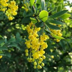 Graines de Vinettier ou l'Épine-vinette (Berberis vulgaris) 1.95 - 2