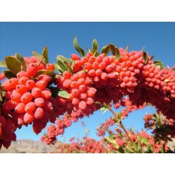 European barberry - simply Barberry Seeds 1.95 - 3