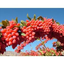 Graines de Vinettier ou l'Épine-vinette (Berberis vulgaris) 1.95 - 3